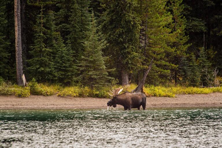 Moose at the shoreline of the Maligne lake, Jasper Nationalpark, Alberta, Canada