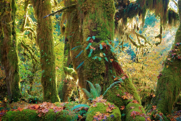 Hoh rain forest in Olympic National Park in autumn