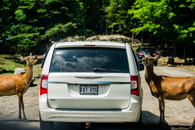 Parc Omega, Canada -July 3 2020:  Roaming elk asking for carrot from tourists car in the Omega Park in Canada