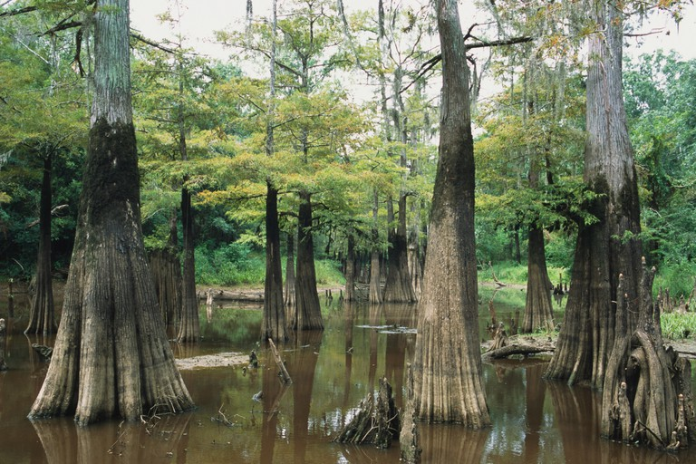 USA, Texas, Big Thicket National Preserve, dense Swamp Cypress/ Common Bald Cypress (Taxodium distichum) showing distinctive knees