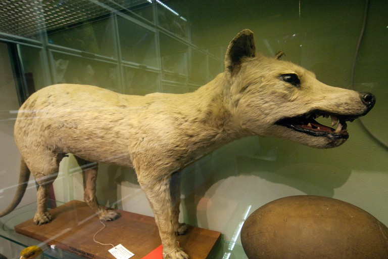A stuffed Tasmanian tiger in a display case of the Booth Museum in Brighton. Image shot 2017. Exact date unknown.