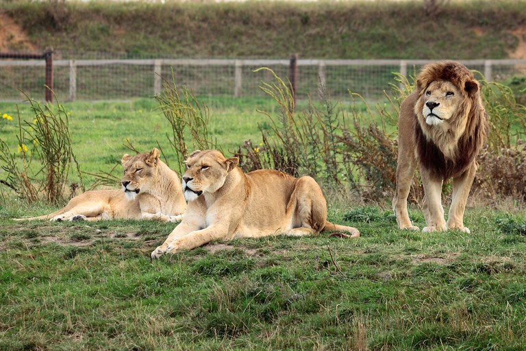 Lion and Lionesses (panthera leo) at Yorkshire Wildlife Park