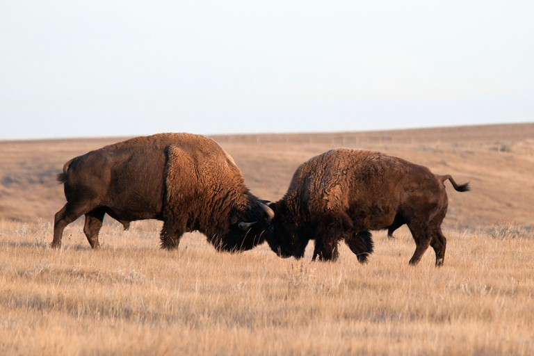 plains bison, west block, Grasslands National Park, Southern Saskatchewan, Canada, North America, animal, bison, two, fight