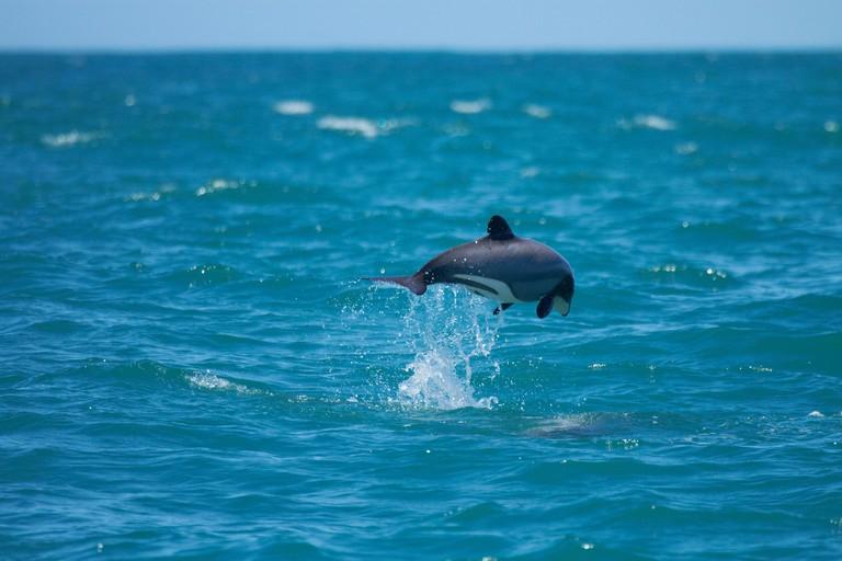 Hector's dolphin jumping (Cephalorhynchus hectori), Akaroa Harbour, Banks Peninsula, Canterbury, South Island, New Zealand
