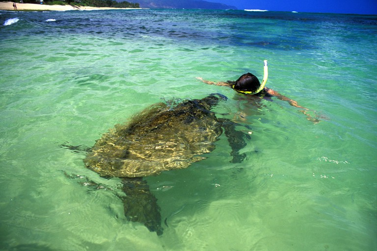 Hawaiian green sea turtles, Chelonia mydas, come face to face with visitors to Laniakea beach on Oahu's north shore. Feeding