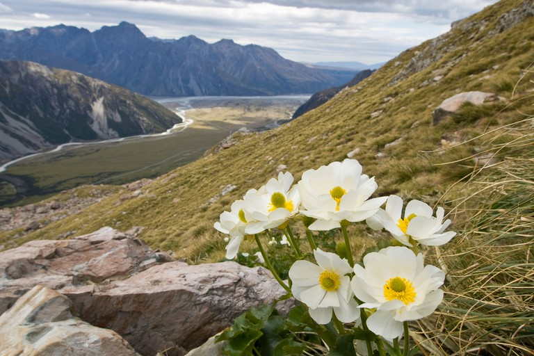 Mt Cook Lily Ranunculus lyallii Mt Cook Aoraki National Park South Island New Zealand