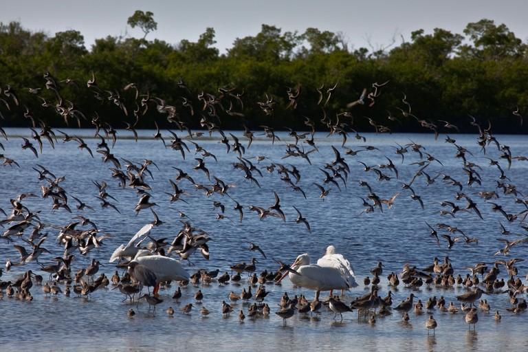 "Wintering Water Birds, J. N. ""Ding"" Darling National Wildlife Refuge, Florida"