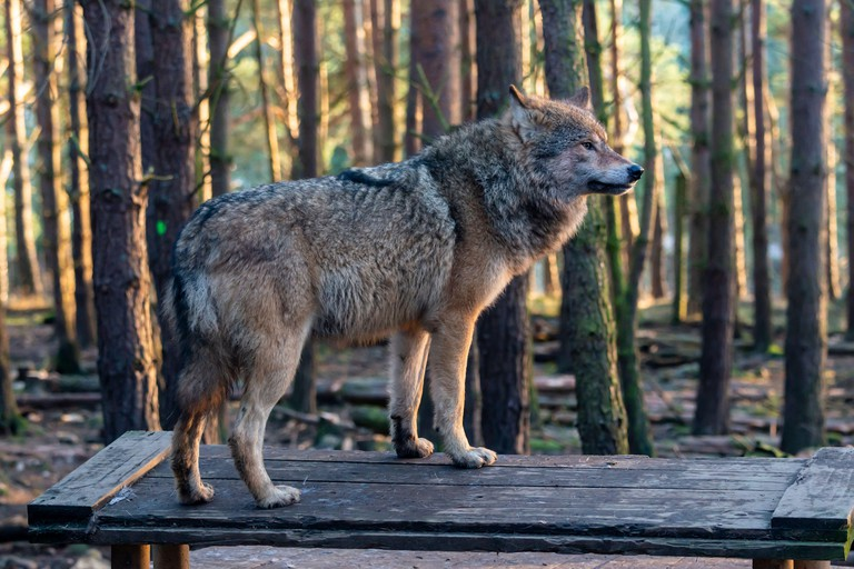 European grey wolf (Canis lupus lupus) at Highland Wildlife Park, Kincraig, Kingussie, Scotland, United Kingdom