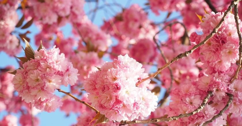 Cherry Blossoms | Pixabay