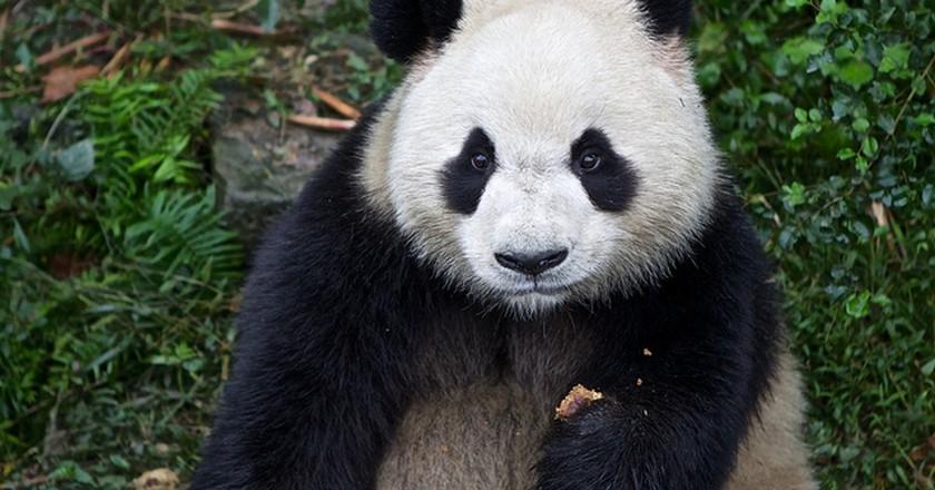 Chengdu Panda I © Alexis/Flickr