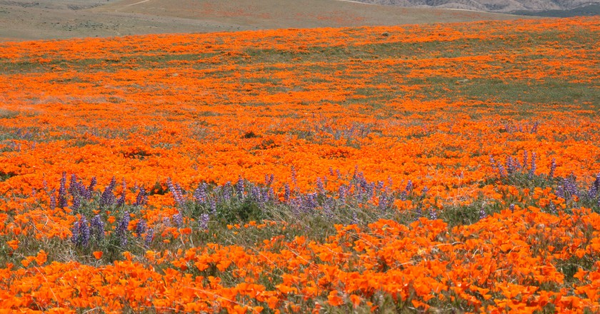 California Poppy Fields | ©Jerry/Flickr