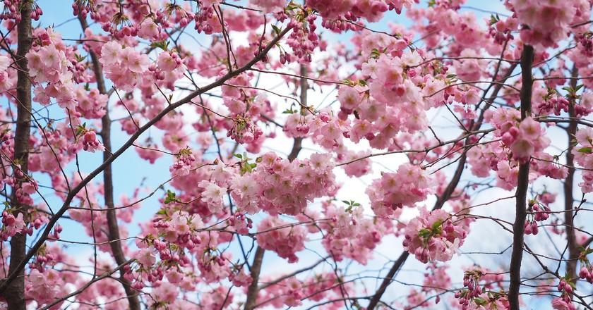 Cherry Blossoms | © Pixabay