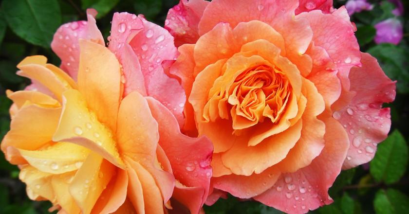 Roses | © schneeknirschen / Pixabay