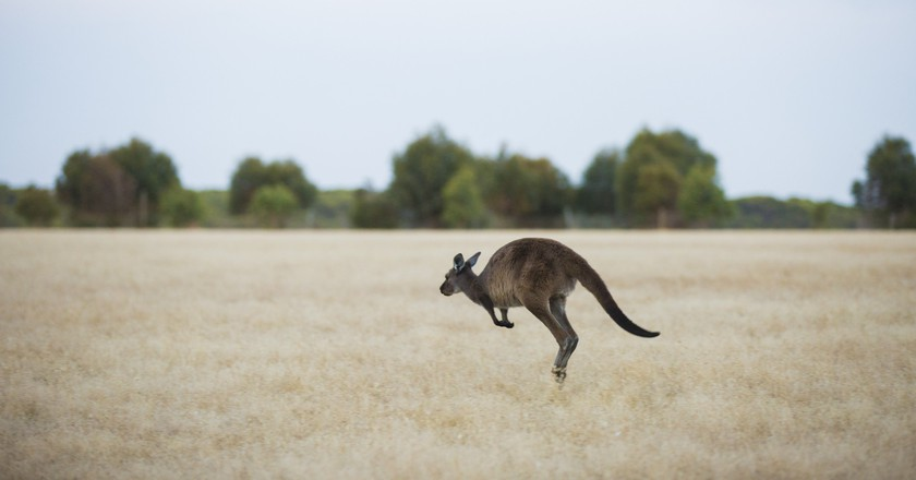 Wallaby on Kangaroo Island   Courtesy of Tourism Australia/© Greg Snell