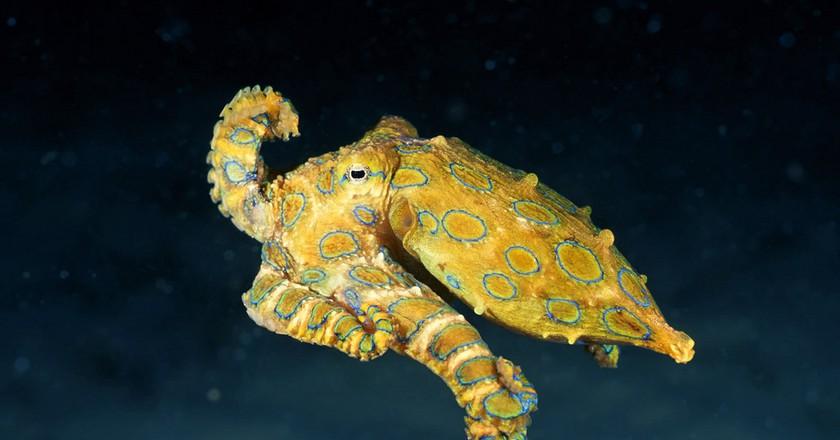 Blue-Ringed Octopus   © Angell Williams / Flickr