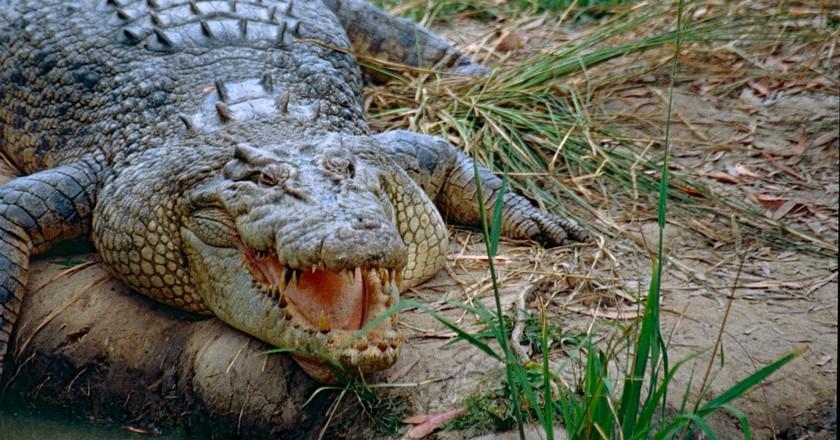 Saltwater Crocodile | © Bernard DUPONT/Flickr