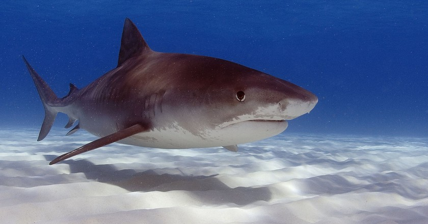 Tiger shark | © Oregon State University/Flickr
