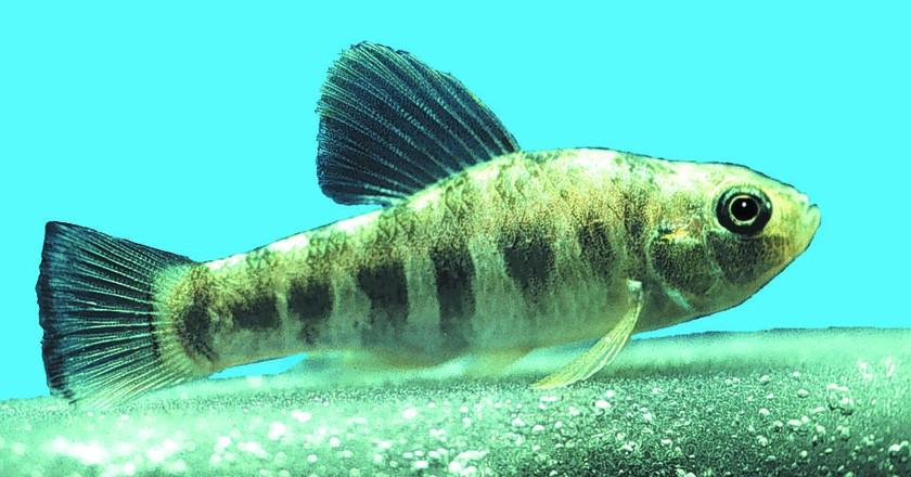 A species of pupfish|©Florida Fish and Wildlife/Flickr
