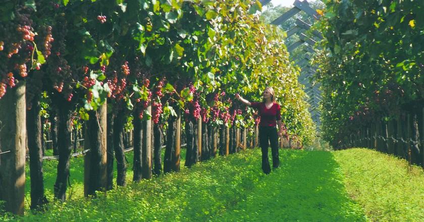 Swan Valley vineyards   Courtesy of Tourism Western Australia