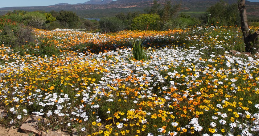 Wildflowers on display at Ramskop Nature Reserve, Clanwilliam, Western Cape, South Africa © Malcolm Manners/Flickr