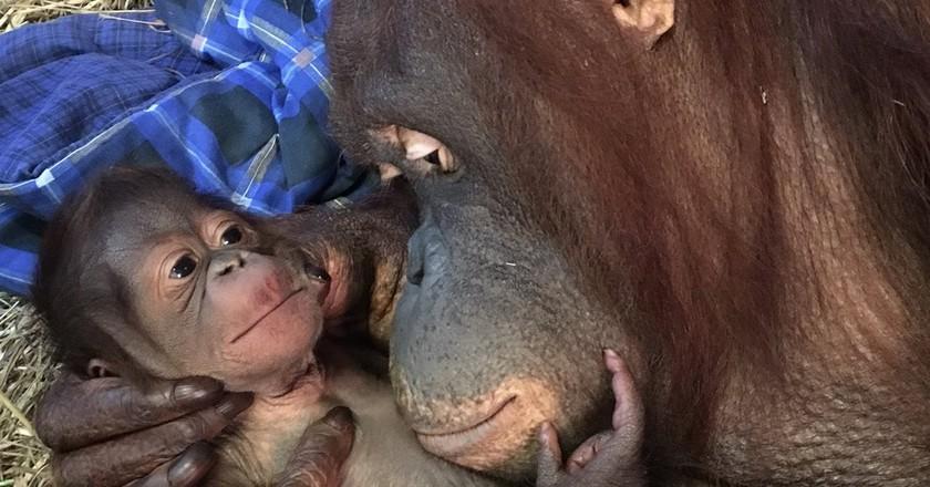The National Zoo Welcomes New Baby Orangutan