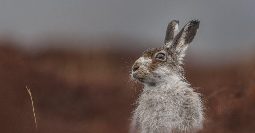 Mountain Hare | © Jamie Mina BPWA Awards