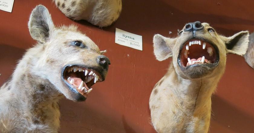 Hyenas © torbakhopper/Flickr