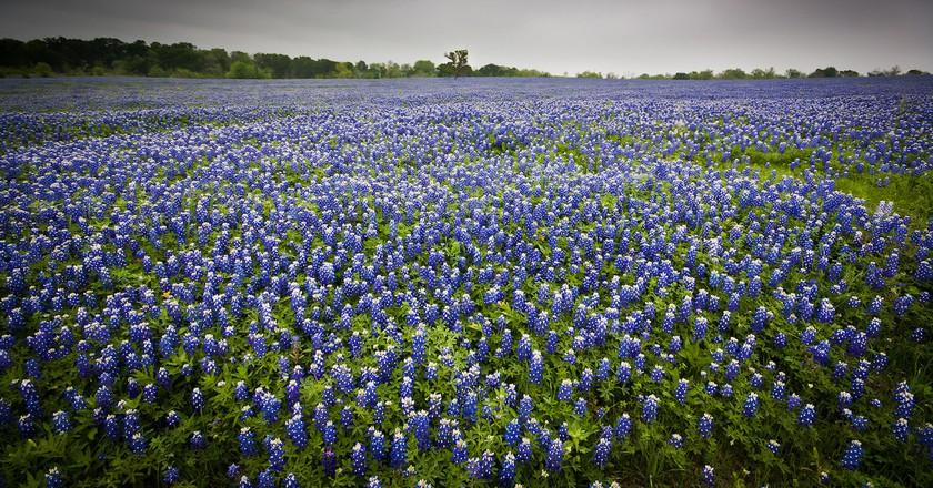 Texas Bluebonnets | © Jeff P/Flickr
