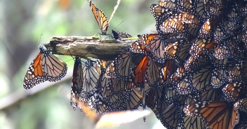 Millions Of Monarch Butterflies Flock To Mexico