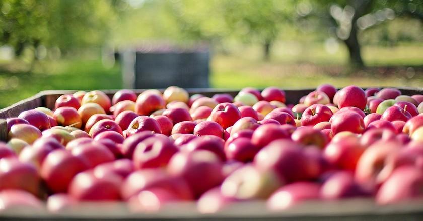 End-Of-Season Apple Picking Near Chicago