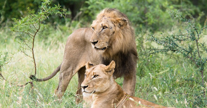 A male and female lion © Chris Eason/Flickr