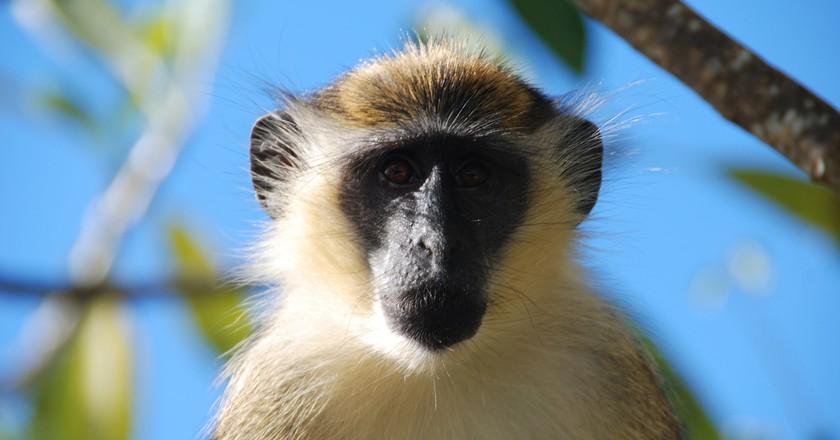 Barbados Green Faced Monkey |© Joe Ross/Flickr