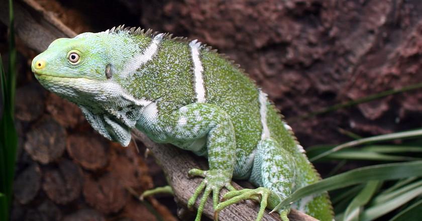 The Fijian crested iguana | © Matthias Liffers/Flickr