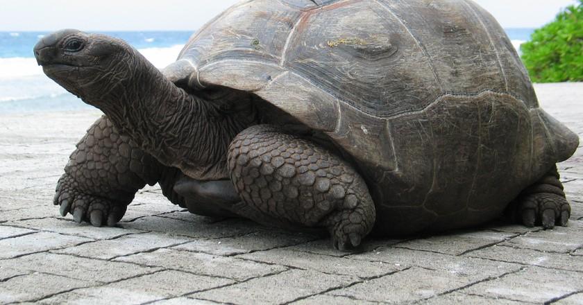 Aldabra Giant Tortoise   ©fred_pnd / flickr