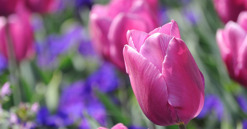 Tulips |©Keromi Keroyama/Flickr