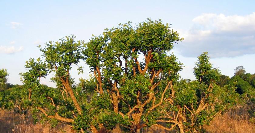 Yerba mate growing in the wild | Wikimedia
