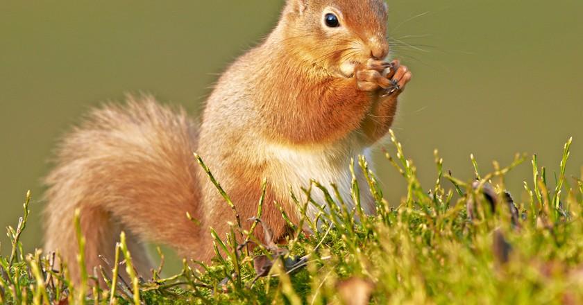 Scottish Red Squirrel | © Peter GW Jones/Flickr