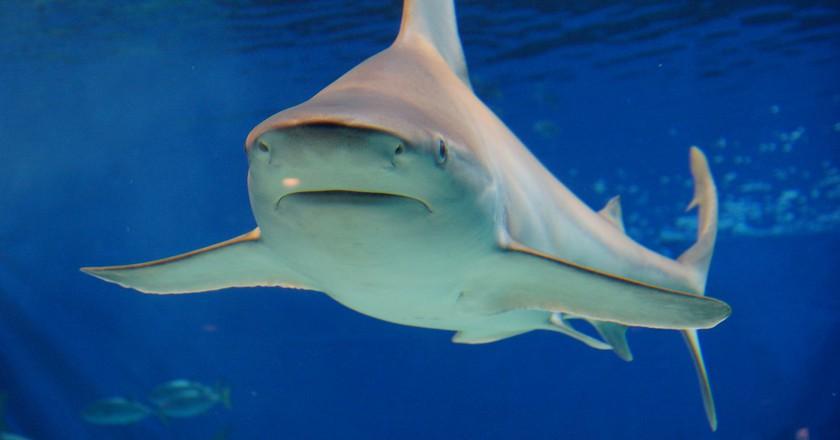 Bull shark | © ume-y / Flickr