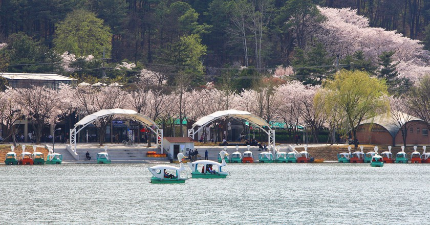 Cherry blossoms bloom at Suseong Lake | © Daegu Suseong District Office / Flickr