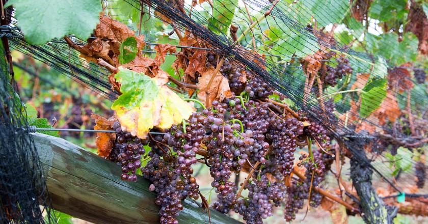 Sileni Estates Winery Grapes | © Norio NAKAYAMA/Flickr