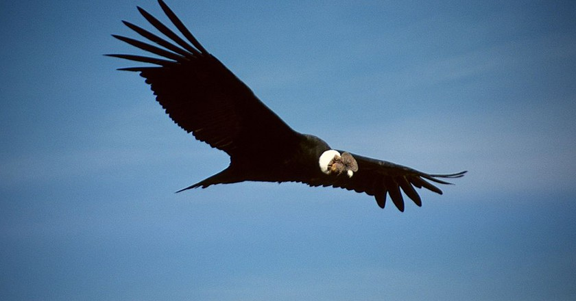 A male Andean condor in flight