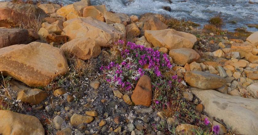 River beauty flowers at Ekblaw Lake | © Paul Gierszewski