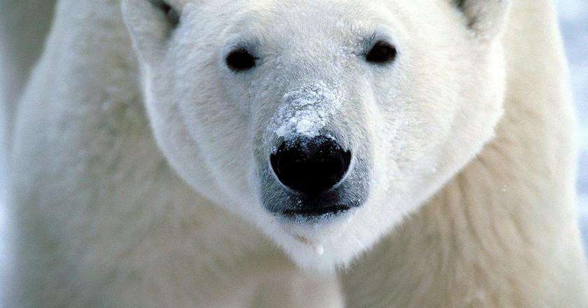 Polar Bear | © flickrfavorites/ Flickr