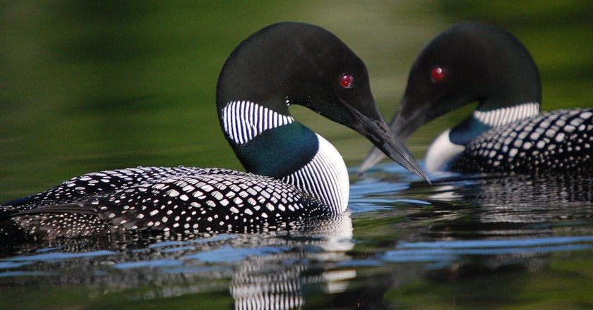 Common Loon   © USFWSmidwest / Flickr