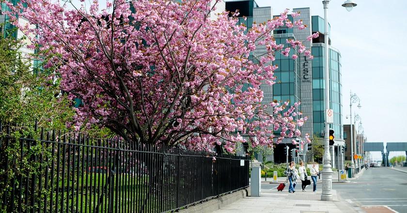 Cherry blossom in Dublin | © lix - / Flickr
