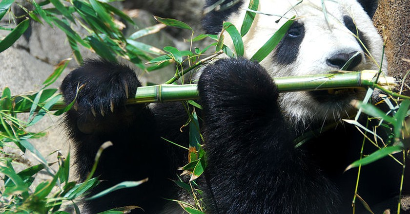 Giant Panda Tai Shan | Wikimedia Commons