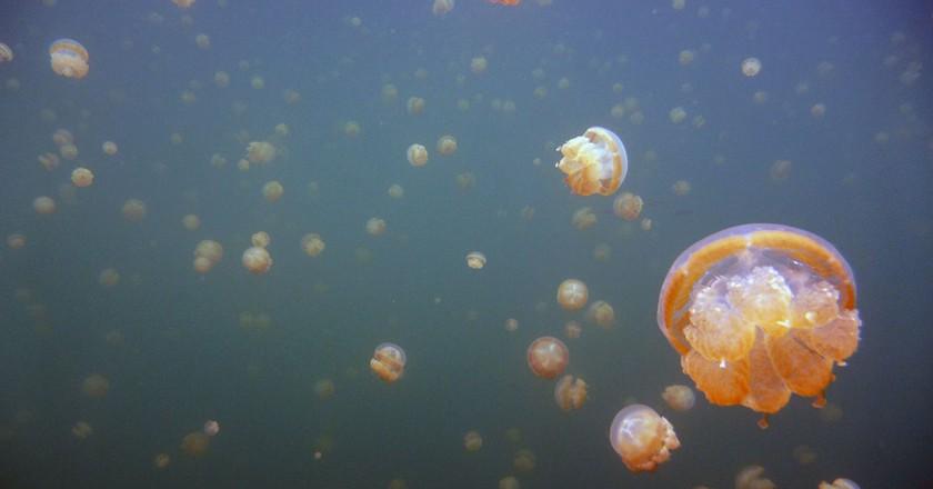 Golden jellyfish migrating across Jellyfish Lake, Palau   © denAsuncioner / Flickr