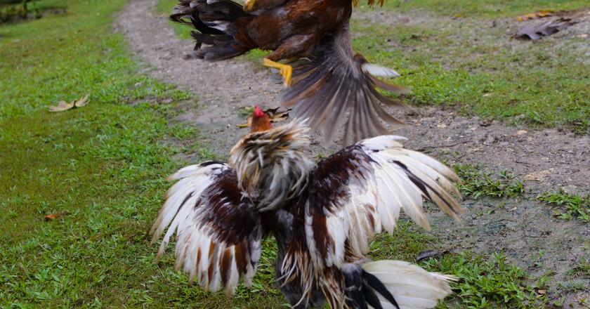 Roosters fighting   © Alberto Abouganem Stephens/ Flickr