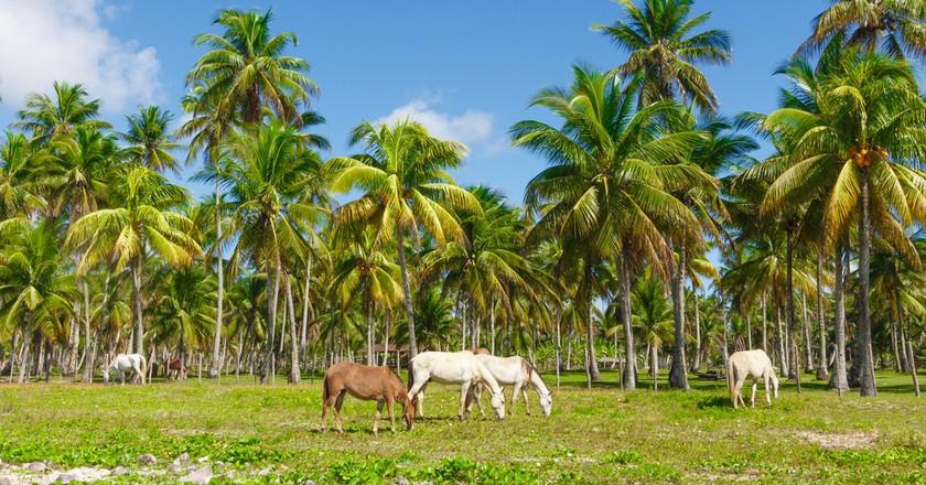 Horses at the Morro de Sao paulo Beach in Salvador, Brazil   © rodrigobark/Shutterstock