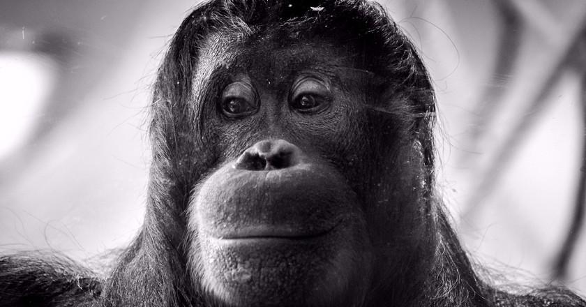 An Orangutan |© Roman Pfeiffer / Flickr